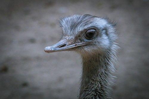 emu  bouquet  flightless bird
