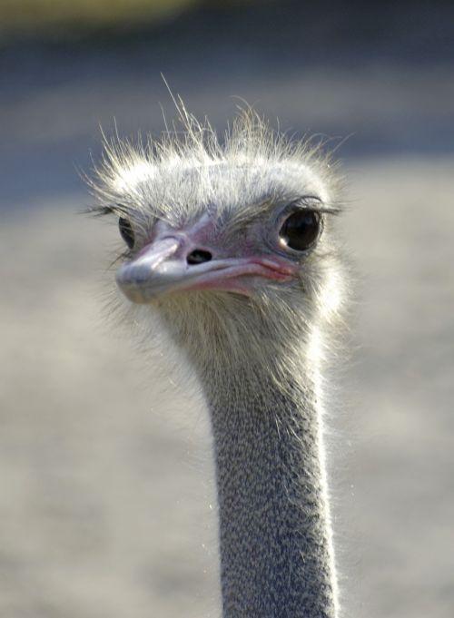 emu emu head bird