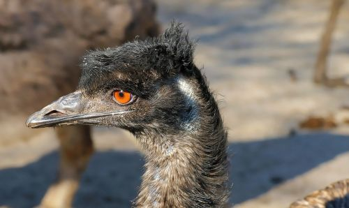 emu flightless bird bird