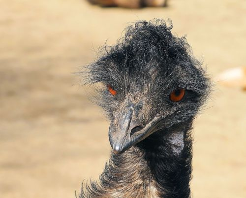 emu portrait head