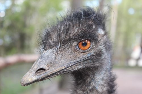 emu animal bird