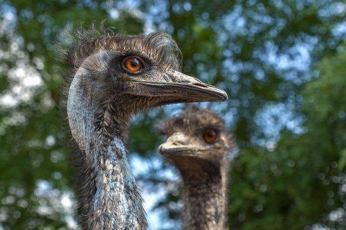 emu australia  bird  portrait