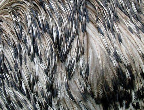 emu feathers ostrich emu bird