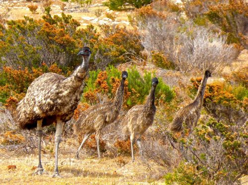 emus birds flightless