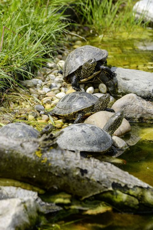 emys orbicularis european marsh turtle turtle