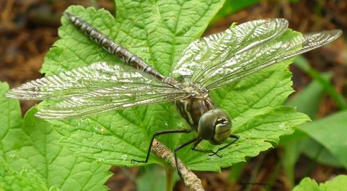 A Large Dragonfly