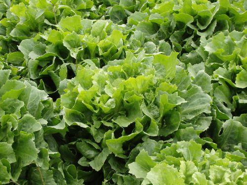 endive salad lettuce green salad