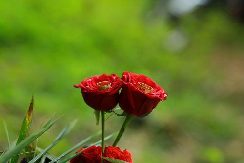 Sužadėtuviu žiedas,įsitraukimas,rožės,raudonos rožės,žiedas,meilė,Vestuvės,santuoka,papuošalai,romantika,auksas,pora,žiedas ant rožių,rožė,žiedai,pora žiedas,du,apdaila,gėlė,romantiškas,raudona,elegantiškas