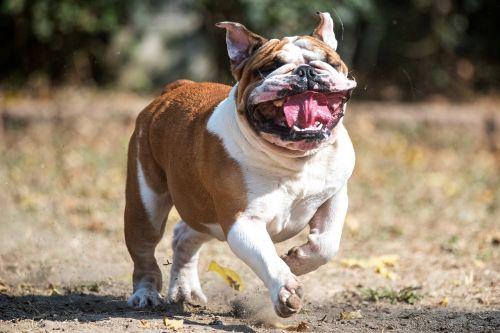 english bulldog bullie bully