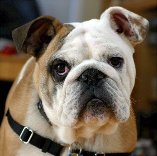 english bulldog bulldog canine