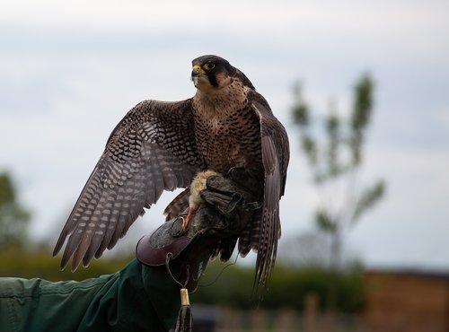 english falcon  falcon on hand  hunter
