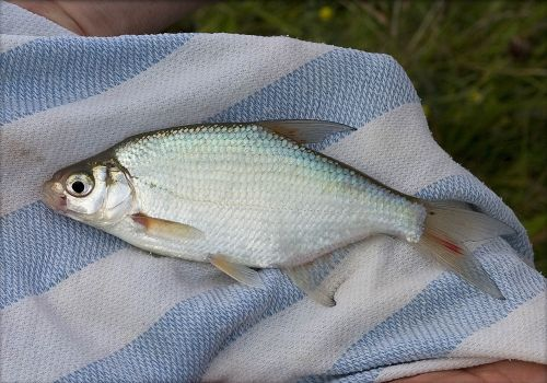 english freshwater fish angling bream