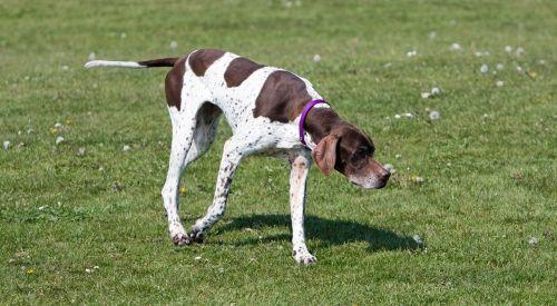 english pointer pointer dog