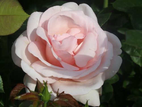 english rose rosebush open grills