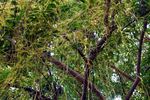 entangled amarbel dodder climber
