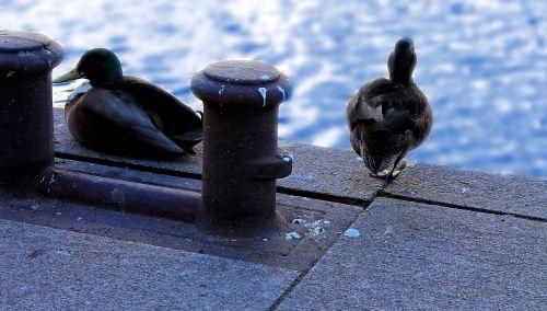 Ducks At The Harbor