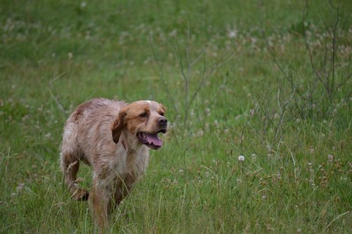 epagneul breton  hunting  dog