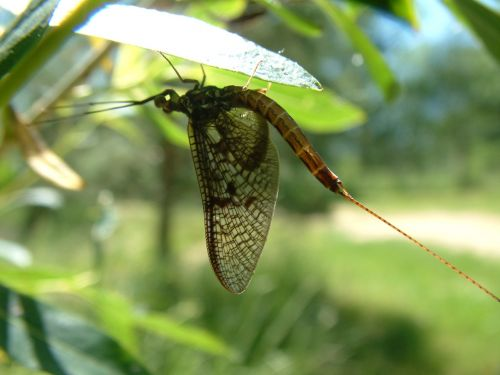ephemeral one day fly fragile insect