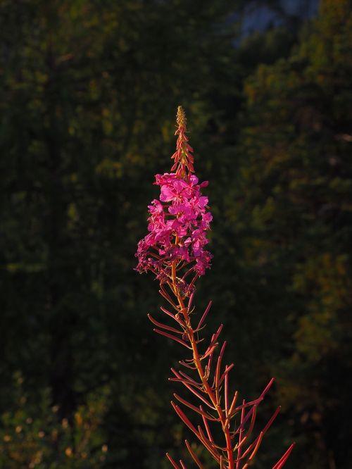 epilobium angustifolium flower blossom