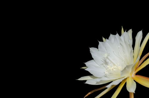 epiphyllum blossom bloom