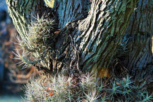 Epiphyte In Japanese Raisin Tree
