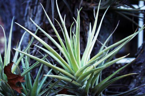 Epiphyte Leaf Cluster
