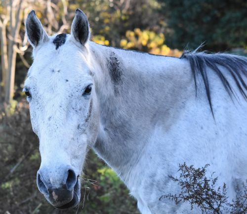 equine meek dapple