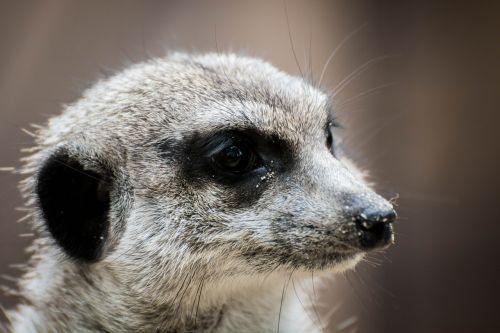 erdmann meerkat animal portrait