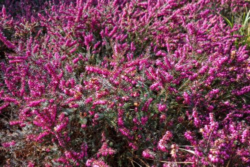 erica,flower,plant,blooming,heather,pink erica,pink heather,purple,springtime