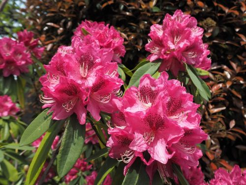 ericaceae rhododendron flowers