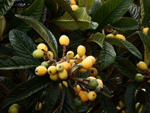 eriobotrya japonica loquat tree