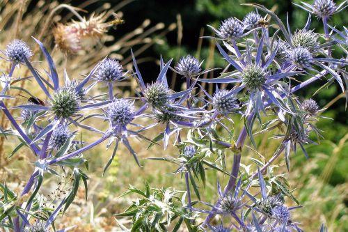eryngium amethystinum rural plant herbaceous
