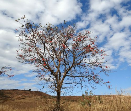 erythrina indica coral tree scarlet