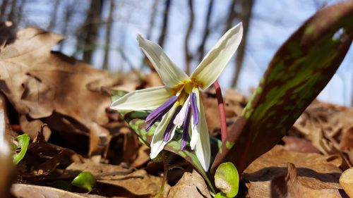 erythronium dens canis dog's tooth violet dogtooth violet