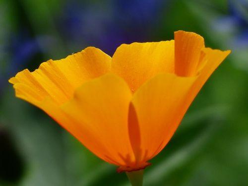 eschscholzia californica poppy blossom