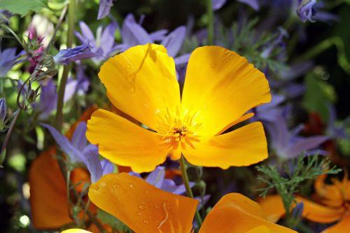 eschscholzia californica orange gold poppy