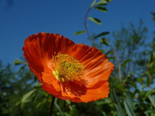 eschscholzia californica orange mohngewaechs