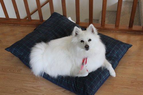 eskimo  dog  spitz