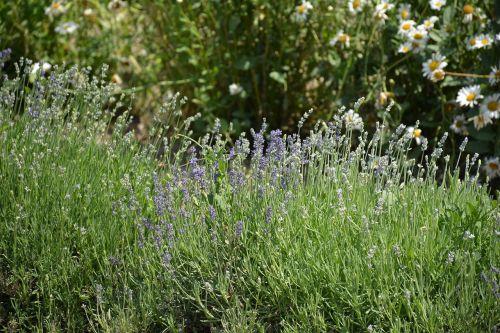 essential oils lavender farm