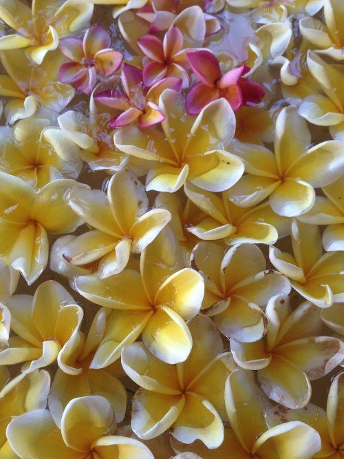 este frangipani gorgeous