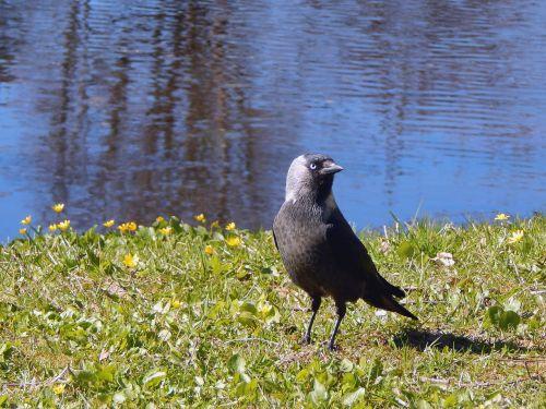 estonia saku bird