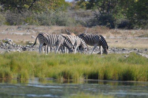 etosha namibia  zebra  water hole
