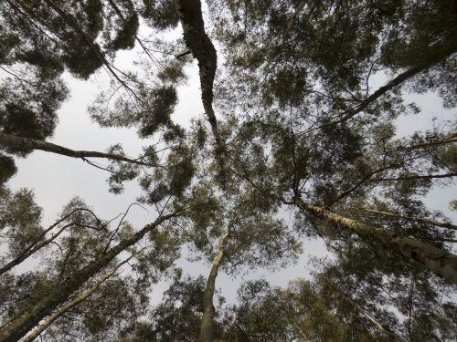 eukaliptas,eukaliptas,miškas,medis,augalai,gamta,grožis,žalias,kraštovaizdis,džiunglės,lapai