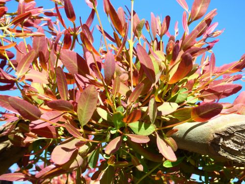 eukaliptas,augalas,lapai,gamta