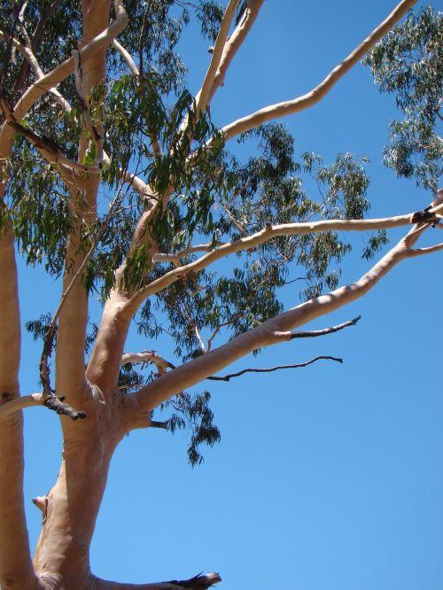 eukaliptas,gumos medis,australia,medis,gamta,guma,gimtoji,natūralus,flora,eukaliptas,dangus,gumtree,filialai