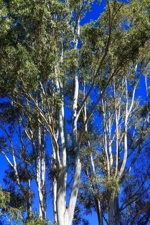 eucalyptus trees australian