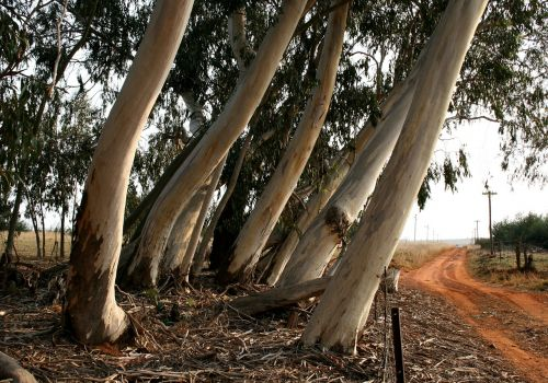eucalyptus bluegum trees