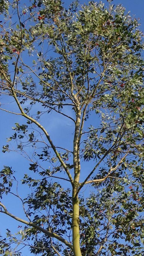 eukaliptas,medis,mėlynas,dangus