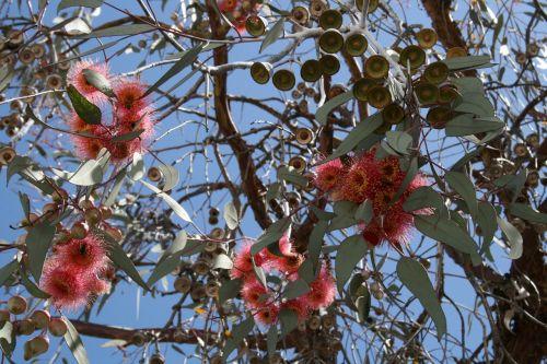 eukaliptas,Australijos eukaliptas,gėlės,žydintys eukalipto šakos