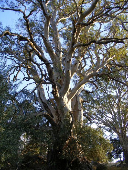 eukaliptas,medis,gumos medis,Australijos eukaliptas,eukalipto medis